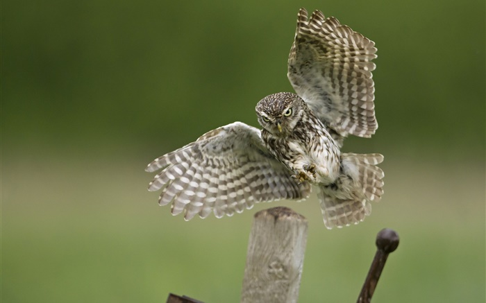Owl landing, wings, stump Wallpapers Pictures Photos Images