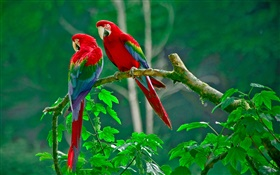 Parrot, pair, tail feathers, forest, twigs, leaves HD wallpaper