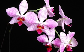 Pink Phalaenopsis, black background HD wallpaper