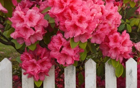 Pink azaleas, fence HD wallpaper