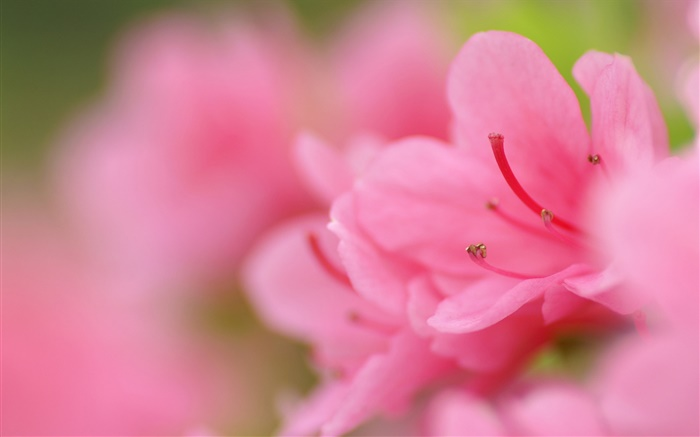 Pink azaleas macro photography Wallpapers Pictures Photos Images