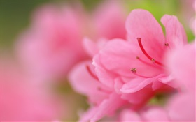 Pink azaleas macro photography HD wallpaper
