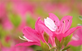 Pink azaleas petals close-up HD wallpaper