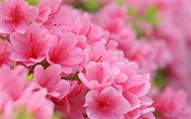 Pink azaleas HD wallpaper