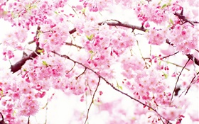 Pink cherry flowers bloom, spring HD wallpaper