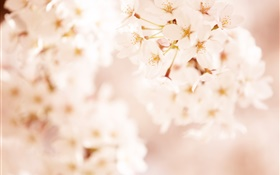 Pink cherry flowers, bokeh