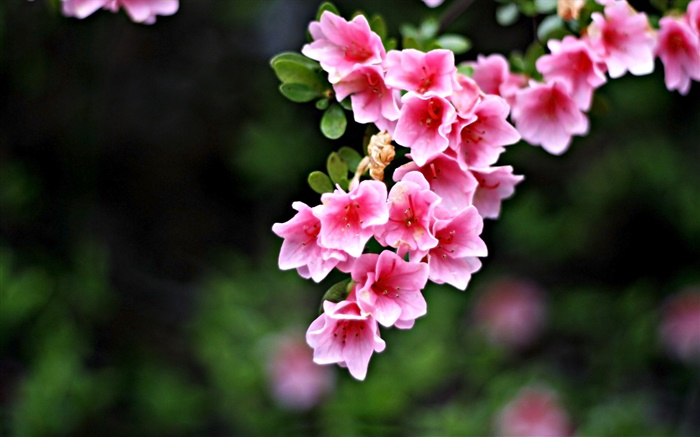 Pink flowers, twigs, spring Wallpapers Pictures Photos Images