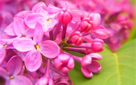 Pink lilac flowers HD wallpaper