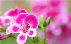 Pink white petals flowers close-up HD wallpaper