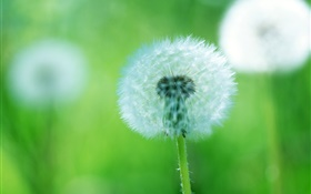 Plants close-up, dandelion flowers, green background HD wallpaper