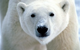 Polar bear face close-up HD wallpaper