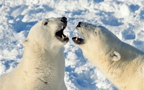 Polar bear yawn HD wallpaper