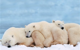 Polar bears hold together for warmth sleep