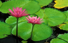 Pond, green leaves, pink lotus HD wallpaper
