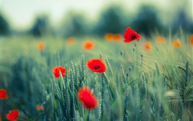 Poppies, red flowers, grass HD wallpaper