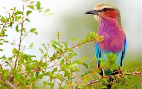 Purple blue feathers bird, twigs HD wallpaper