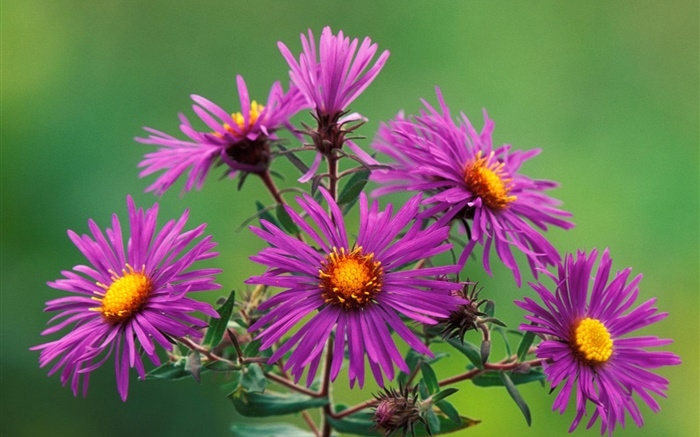 Purple chrysanthemum Wallpapers Pictures Photos Images
