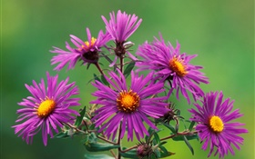 Purple chrysanthemum HD wallpaper