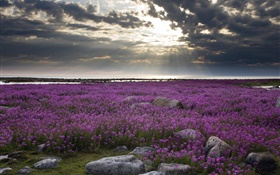 Purple flowers field, rocks, clouds, sun rays HD wallpaper