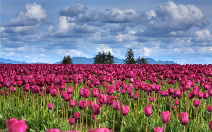 Purple tulip flowers field, clouds, trees, dusk Wallpapers Pictures Photos Images