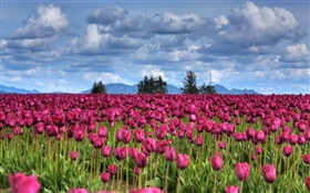Purple tulip flowers field, clouds, trees, dusk HD wallpaper