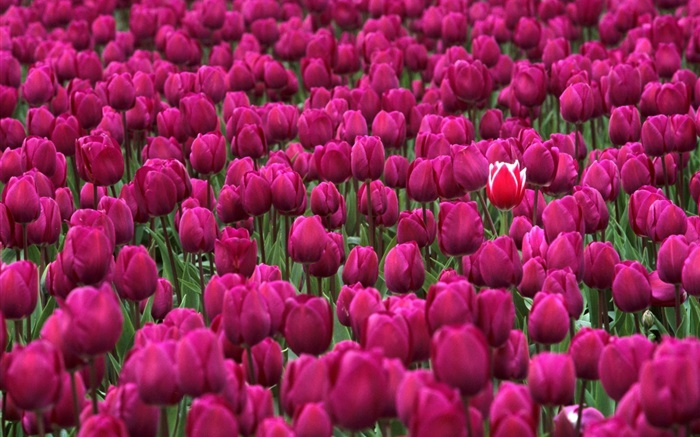 Purple tulip flowers field Wallpapers Pictures Photos Images