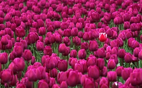 Purple tulip flowers field HD wallpaper