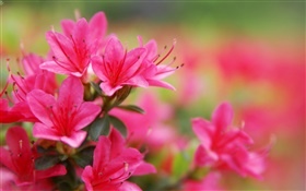 Red azaleas close-up HD wallpaper