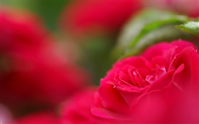 Red flower close-up, bokeh HD wallpaper