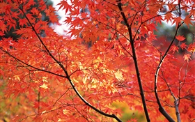 Red maple leaves, fall, Tokyo, Japan HD wallpaper