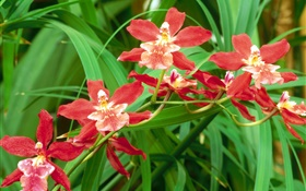 Red orchid flowers, green leaves HD wallpaper
