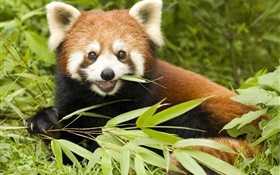 Red panda eating bamboo HD wallpaper