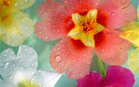Red purple white petals flowers, dew, water drops HD wallpaper