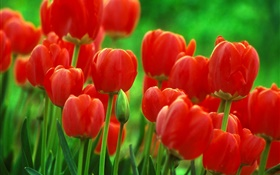 Red tulip flowers, garden, green background