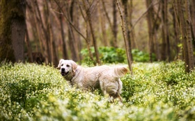 Retriever, dog, grass, wildflowers, forest