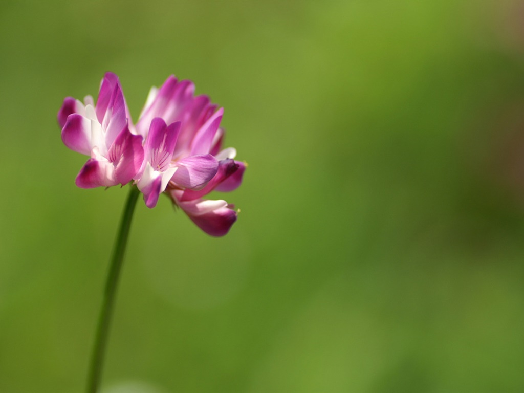 Single pink flower close-up, green background 1024x768 wallpaper