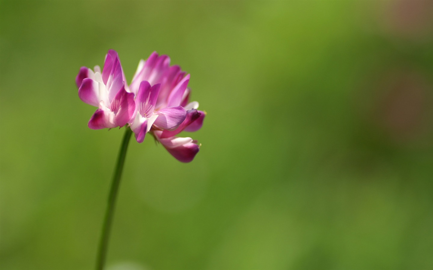 Single pink flower close-up, green background 1440x900 wallpaper