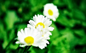 Small white daisies HD wallpaper