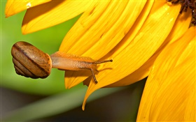 Snail close-up, sunflower petals HD wallpaper