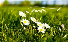 Spring, grass, white daisies HD wallpaper