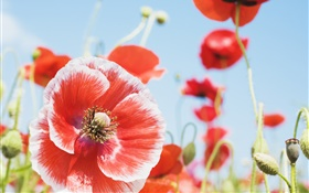 Summer poppies, red and white petals