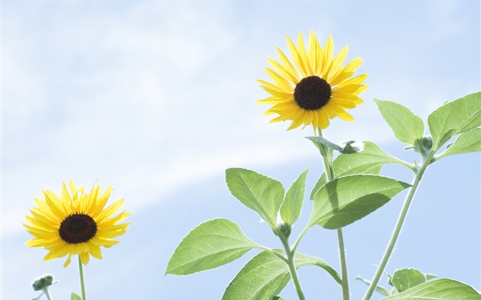 Summer sunflowers, blue sky Wallpapers Pictures Photos Images