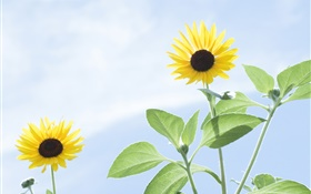 Summer sunflowers, blue sky HD wallpaper