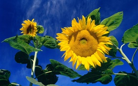 Summer sunflowers, green leaves, blue sky HD wallpaper
