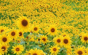 Sunflowers field, yellow petals HD wallpaper