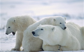 Three polar bears, snow, cold HD wallpaper