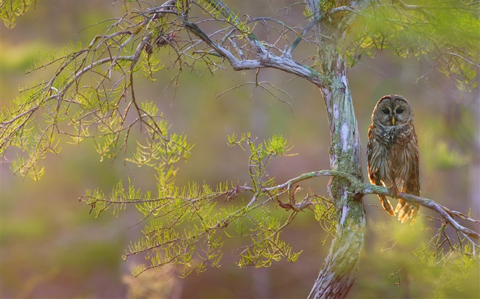 Tree branch, hawk owl Wallpapers Pictures Photos Images