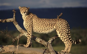 Tree cheetah HD wallpaper