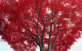 Tree, red leaves, autumn HD wallpaper