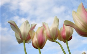 Tulip flowers close-up, blue sky HD wallpaper